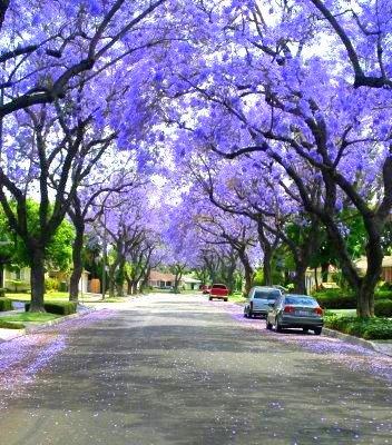jacaranda tree-1